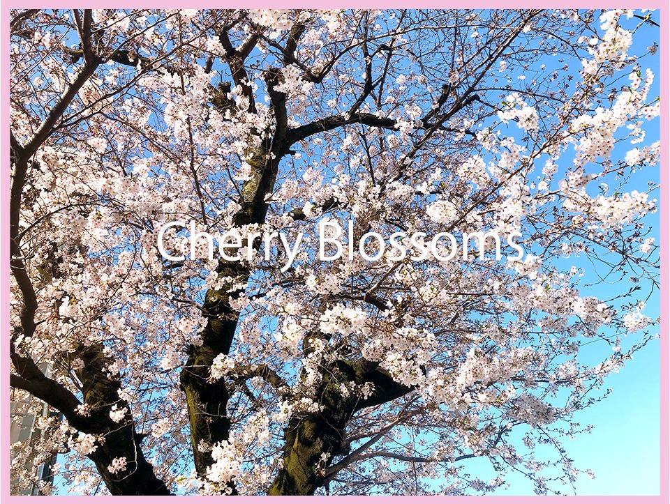 Cherry Blossoms × Siri に学ぶこと